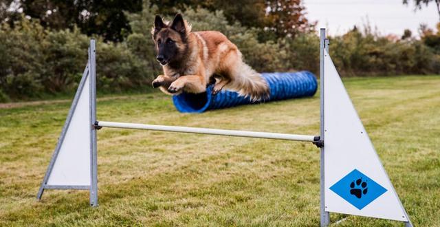 Hund som hoppar över hinder på Munkagårdsgymnasiet.