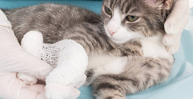 Skadad katt blir omplåstrad av deltagare på djursjukvård Munkagårdsgymnasiet.