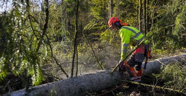Skogsarbetare sågar grenar på en fälld gran