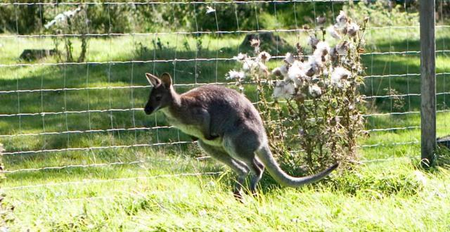 Wallaby hoppar på Munkagårdsgymnasiet.
